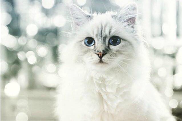 Choupette, il gatto di Karl Lagerfeld