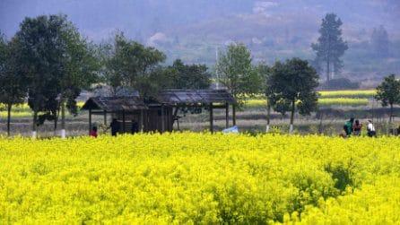 Le distese di mimose nella città cinese di Nanchang