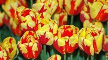 Il campo di tulipani più grande d'Italia alle porte di Milano: 250mila fiori