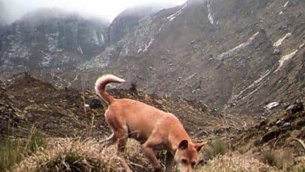Il cane canoro della Nuova Guinea esiste ancora in libertà