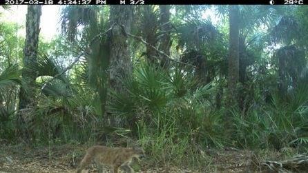 Ottime notizie: avvistati due cuccioli di pantera della Florida