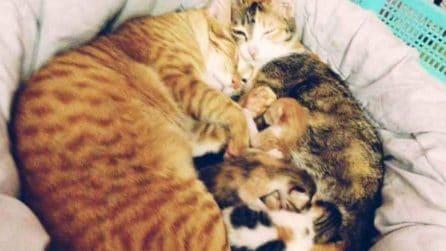 Papà gatto sostiene la sua compagna durante il travaglio: le coccole del micio alla sua famiglia sono adorabili