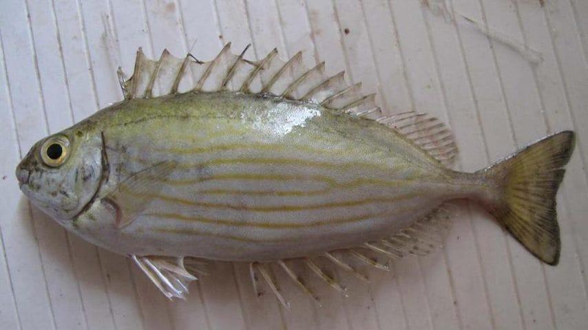 Si tratta di un pesce commestibile, ma occhio alle sue spine che sono velenose.