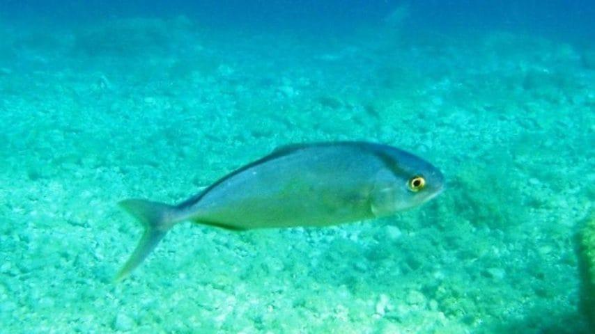 Un pesce identico a quello del Mediterraneo ma di dimensioni maggiori.