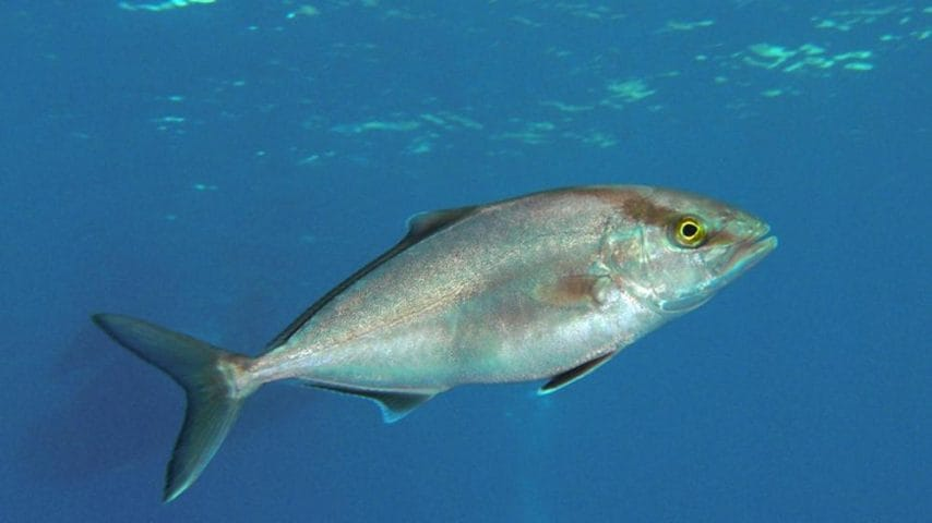 Vive nelle acque tropicali e subtropicali: trovato anche a Lampedusa.