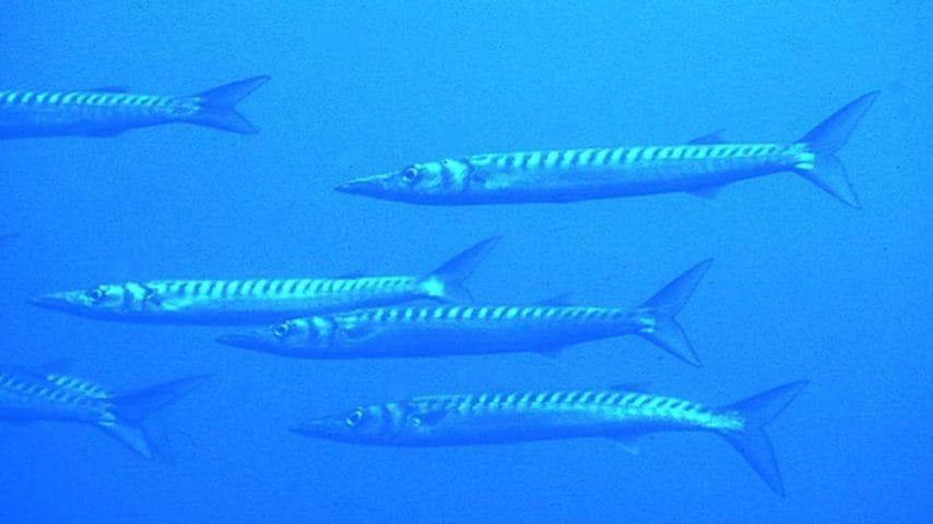 Il riscaldamento del Mediterraneo ha favorito il suo arrivo da Capo Verde, dalle Canarie e delle Azzorre: è possibile trovarlo anche nel Mar Tirreno e in quello Ligure.