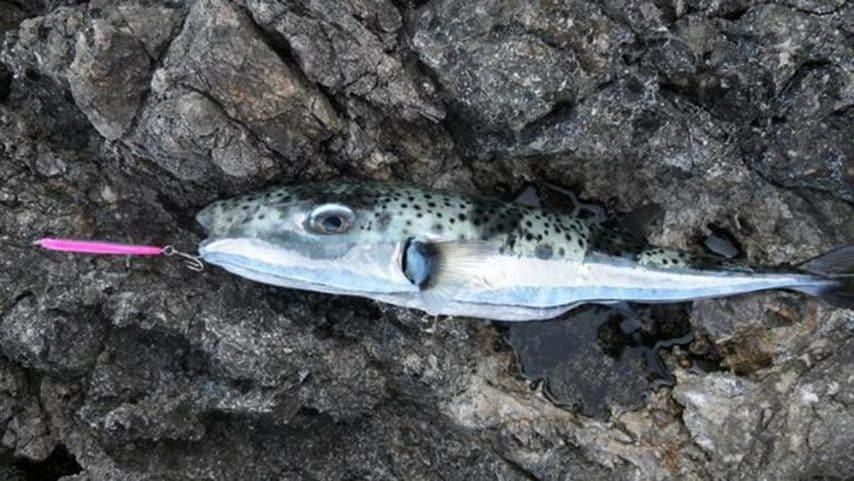 Avvistato a Lampedusa e nell'Adriatico, si tratta di un pesce molto velenoso in grado di accumulare la tetrodotossina,