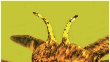 Fiore di 100 milioni di anni: 'Sembra appena colto'. Si chiama Tropidogyne pentaptera