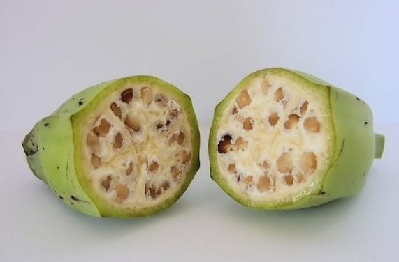 The first bananas may have been cultivated at least 7,000 years ago. They looked very different from modern bananas and had large seeds, like the ones in this photo. Credits: https://geneticliteracyproject.org/2014/06/19/how-your-food-would-look-if-not-genetically-modified-over-millennia/