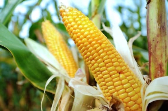 Today, corn is 1,000 times larger, is sweet and much easier to peel.