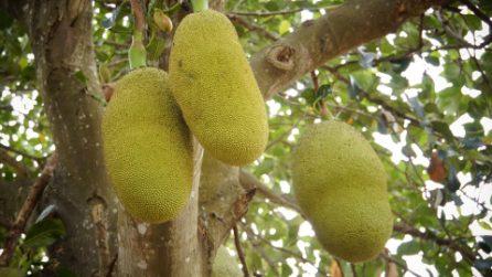 Jackfruit, il frutto che sa di porchetta è il più grande che cresce sugli alberi