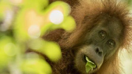 Orango Tapanuli: scoperta nuova specie che vive in Indonesia