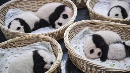 Panda giganti: i cuccioli dormono beati nel Centro di conservazione e ricerca a Chengdu