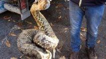 Ariccia, trovato un grosso serpente morto nel bosco