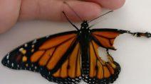 La farfalla ha un'ala rotta: così la ricuce e la fa tornare a volare
