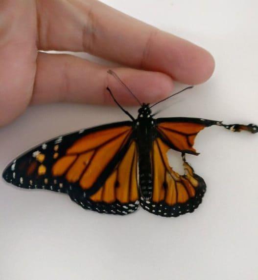 La farfalla ha l'ala destra strappata in alto e in basso