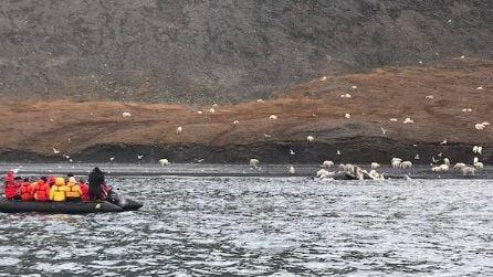 Centinaia di orsi polari insieme per mangiare: lo spettacolo rarissimo in Siberia