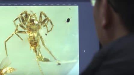 Nell'ambra scoperto un ragno con la coda: perfettamente conservato dopo 100 milioni di anni