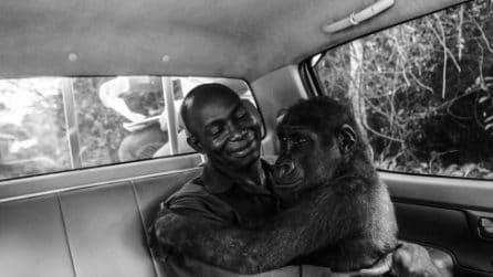 Una giovane gorilla abbracciata all'uomo che l'ha salvata: la foto vincitrice del prestigioso WPY