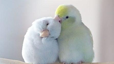 """""""Ho documentato la storia d'amore tra i miei pappagalli e il risultato vi scioglierà il cuore"""""""