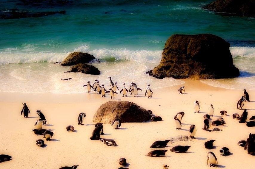 https://pixabay.com/it/sud-africa-pinguini-natura-uccelli-2372368/