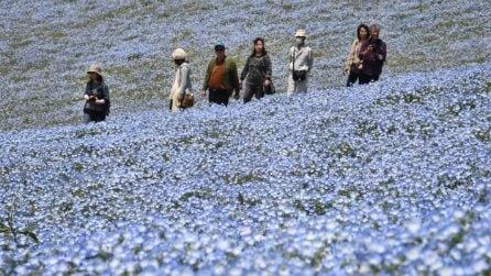 Nemophila Blu, un mare di fiori blu copre il Giappone