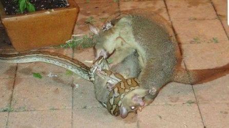 Mamma opossum lotta contro un pitone per salvare il suo cucciolo: le immagini diventano virali