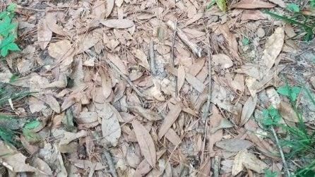 Tra le foglie si nasconde un serpente velenoso: quasi nessuno riesce a trovarlo