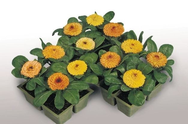 Marigolds contain Pyrethrum, a compound used in many insect repellents. What's more, marigold extract is the main ingredient in soothing creams. Placing such a plant onto your window would be perfect.