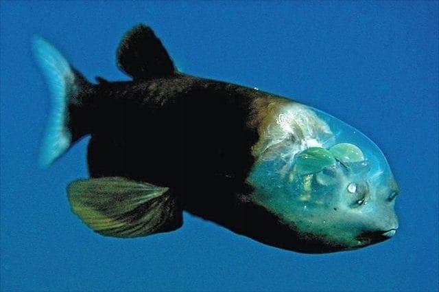 Il macropinna vive fra i 600 e gli 800 metri e grazie alla testa trasparente può catturare, con i suoi occhi, molta più luce del normale.