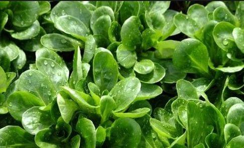 Songino: una varietà di insalata che stimola l'intestino depurandolo e aiuta ad eliminare le tossine