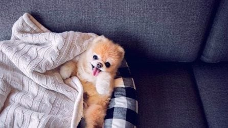 E' morto Boo il cagnolino da 16 milioni di fan sui social