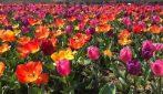 Oltre un milione di tulipani olandesi a Roma: apre Flowers Park, una distesa di profumi e colrori