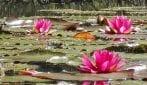 La distesa di ninfee colora il lago: lo spettacolo in Brianza