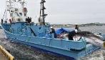 Il Giappone ha ripreso la caccia commerciale alle balene dopo 30 anni: uccisa la prima