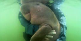 La riconoscenza della cucciola di dugongo: il tenero abbraccio a chi l'ha salvata