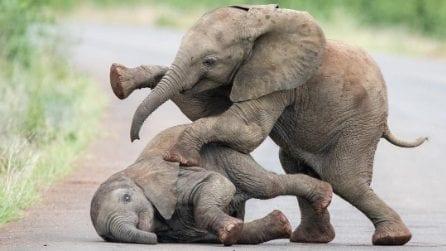 I due elefantini giocano davanti ai turisti: la scena è tenerissima