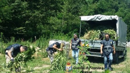 Piantagione di canapa illegale tra i boschi di Varese: la guardia di finanza sequestra 5mila piante