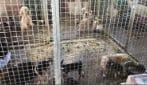 Cani e gatti in condizioni igieniche precarie: scoperto allevamento abusivo di animali nel Pavese