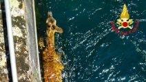 Capriolo trascinato dalla corrente rischia di annegare in un canale: salvato dai vigili del fuoco