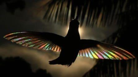 Trasforma le ali di colibrì in arcobaleni: gli scatti sono davvero unici