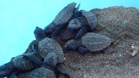 Meta di Sorrento, ottanta tartarughe nascono sulla spiaggia