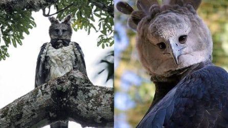 L'aquila che sembra un cosplay: le foto dell'esemplare più grande che esista