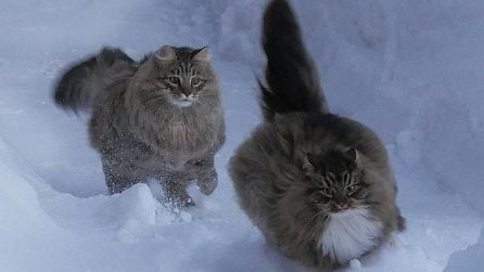 Amano la neve come nient'altro: bellissimo vedere due gattoni che si divertono e giocano