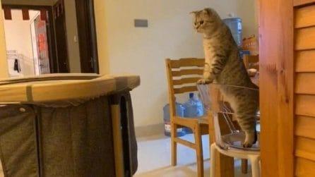 Nuovo arrivato, il gatto lo controlla da lontano: si arrampica sulla sedia e lo osserva