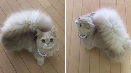 Il gatto con la coda da scoiattolo: soffice e morbida
