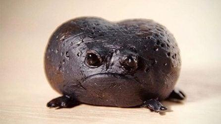 Rain frog, l'essere più scontroso al mondo