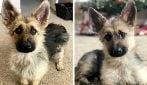 Questo pastore tedesco di 2 anni resterà per sempre un cucciolo