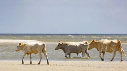 Tre mucche spazzate via dall'uragano: hanno raggiunto a nuoto un'isola deserta