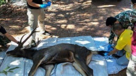 Thailandia, cervo trovato morto in un parco con 7 chili di plastica nello stomaco